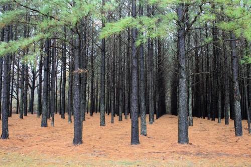 florestas-plantadas-e1437429490880