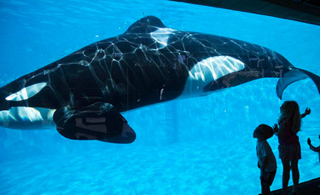 Após repercussão negativa, SeaWorld anuncia que deixará de criar orcas em cativeiro