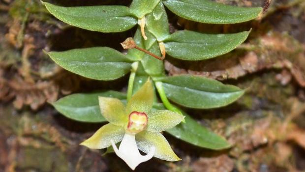 Novas espécies de orquídeas são identificadas na Amazônia Legal