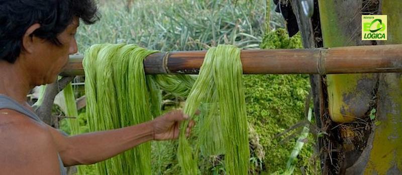 Tecido feito de fibras de abacaxi pode substituir o couro