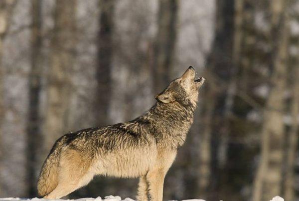 lobo-yellowstone