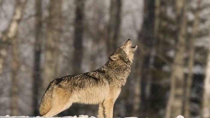 Como Lobos Mudam Rios (How Wolves Change Rivers)