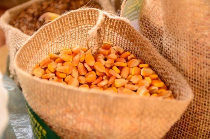 Governo vai comprar sementes de milho da agricultura familiar