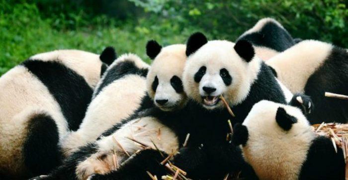 Panda Gigante está oficialmente fora de perigo de extinção